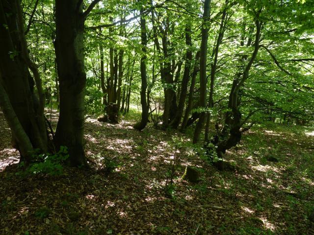 Bukový les na Stolečným vrchu