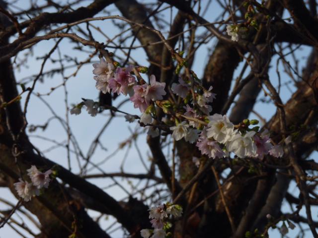 Sakura v květu.